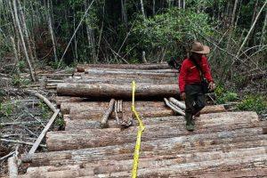 Pelaku illegal logging di kotawaringin timur diringkus polsek cempaga