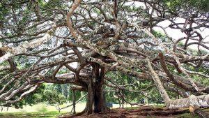 """Beringin pohon """"angker"""" sumber kehidupan manusia"""