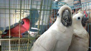 Penyelundup burung paruh bengkok ditangkap Polda Maluku Utara