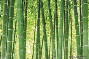 Bambu sebagai tanaman konservasi yang mulai langka