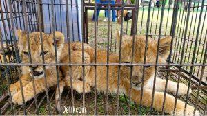 Penyelundup singa, macan tutul, kura-kura bintang dan pedagang harimau berhasil diamankan