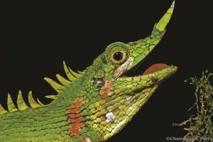 129 tahun dinyatakan punah, kadal asli Pulau Sumatra kembali ditemukan