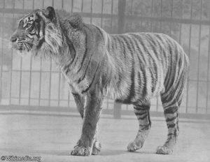 Sang legenda, harimau jawa mungkinkah masih ada?