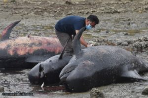 Fenomena paus terdampar, apa penyebabnya?