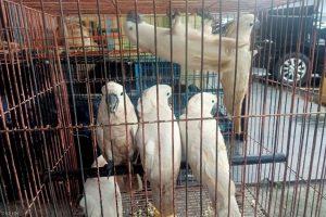 Pilot trigana air menjadi tersangka penyelundupan burung dilindungi asal papua