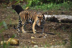 Harimau sumatera berhasil di evakuasi dari perkebunan sawit