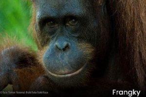Lima individu orangutan hasil penyelamatan kembali ke habitatnya