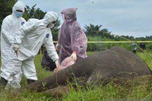 5 pelaku pembunuhan gajah tanpa kepala di aceh timur ditangkap